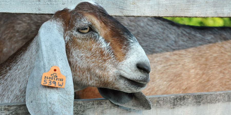 Goat with ear tag