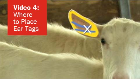 Video 4 - Where to Place Ear Tags